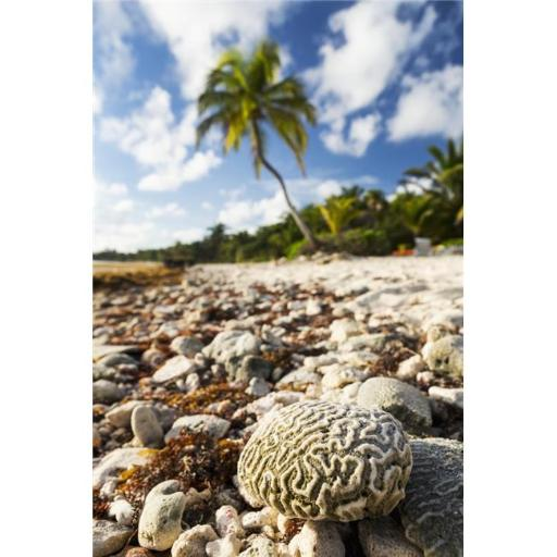 Close Up of A Brain Coral on A Coral Beach with Coconut Tree in Background with Blue Sky & Clouds - Akumal Quintana Roo Poster Print - 24 x 38 in. - L