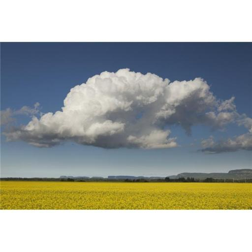 Canola Field with Blue Sky & Cloud - Thunder Bay Ontario Canada Poster Print - 38 x 24 in. - Large