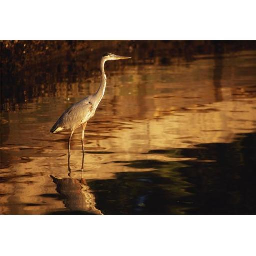 Posterazzi DPI1820792 River Liffey County Dublin Ireland - Heron Wading in Water Poster Print by Richard Cummins, 18 x 12