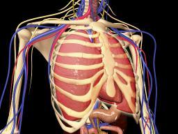 Human rib cage with lungs and nervous system Poster Print PSTSTK701125HLARGE
