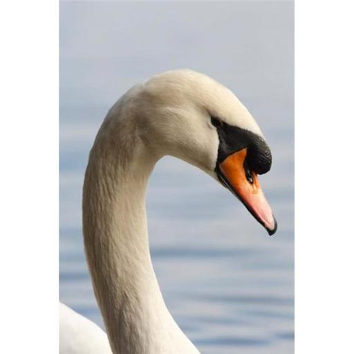 Posterazzi PDDCN02RBR0013 British Columbia Vancouver Mute Swan Bird Poster Print by Rick a Brown - 13 x 20 in.