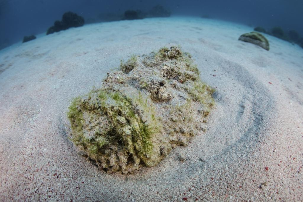 A predatory stonefish lies camouflaged in the sandy seafloor Poster Print by Ethan Daniels/Stocktrek Images